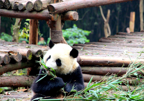 12 Days A Close Encounter with Pandas