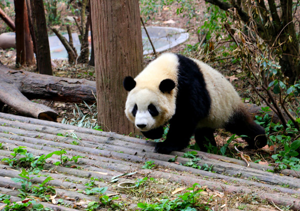 4 Days Wolong Panda Tour